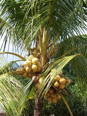 Palme mit Kokosnüssen - auf Bali
