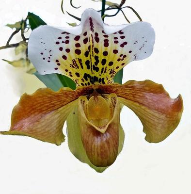 """""""Orchideenblüte"""""""