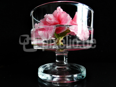 Azaleeblüte im Glas