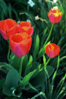Tulpen im schattigen Garten