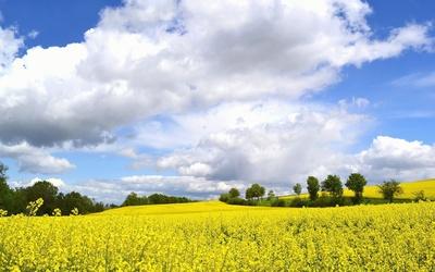 Rapsfeld im Mai