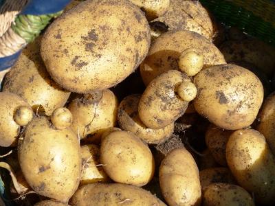 Kartoffeln aus dem Garten