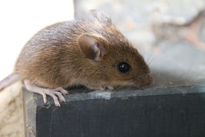 Maus am Fenster