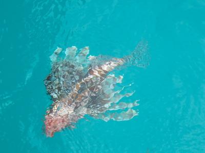 Pazifischer Rotfeuerfisch - durch Zufall gesehen