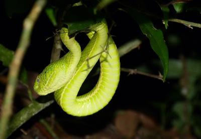 Grüne Palmviper