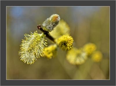 Die gelbe Farbe der frühen Frühling...