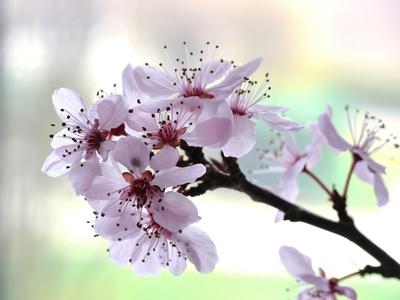 Kirschblüte . . .