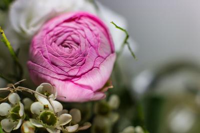 Ranunkel-Blüte