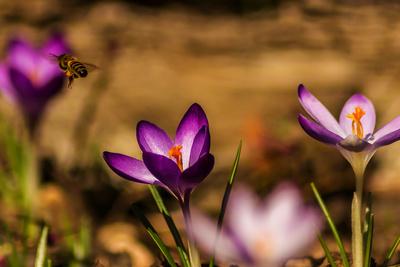 Biene trifft Krokus