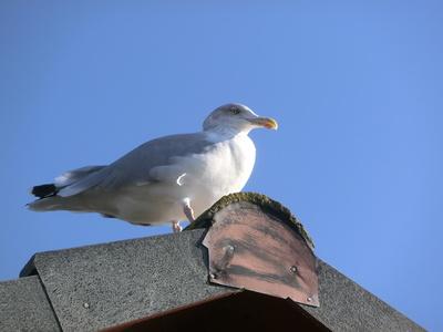 Möwe auf dem Dach