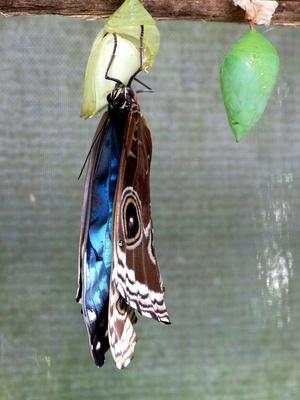 Schlüpfender Schmetterling