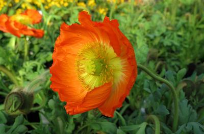Mohnblüte in Orange