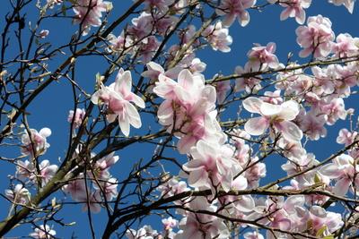 Magnolien vor Himmelsblau