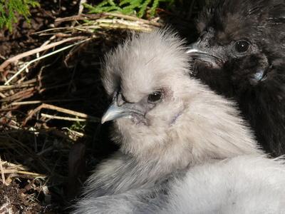 Zwergseidenhühner
