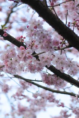 Mandelblütenbäumchen