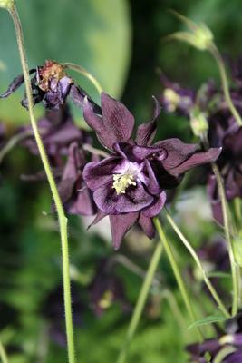 Violette Akelei im Schatten