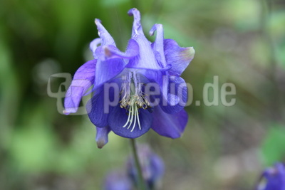 Blaue Akelei