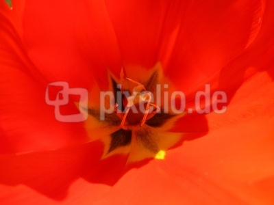 Tulpenherz