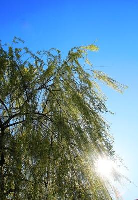 Salix babylonica 02