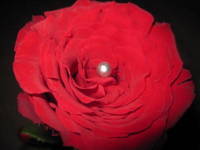 Rote Rose mit weißer Perle geschmückt
