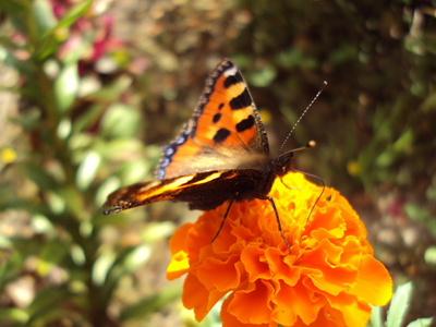 Kleiner Fuchs - Schmetterling