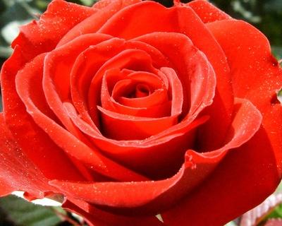 Nahaufnahme einzelne rote Rosenblüte