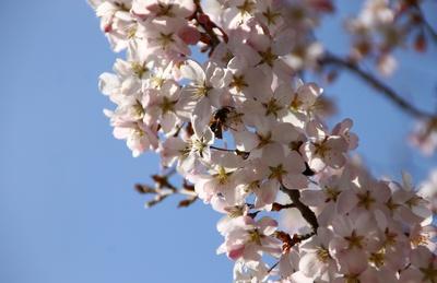 So viele Blüten der Baum trägt...02