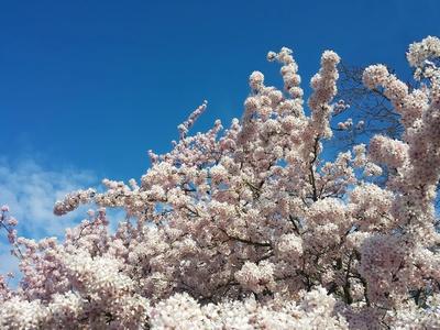 Kirschblütenpracht ganz früh im März schon