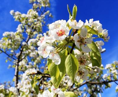 Wenn der Birnbaum blüht