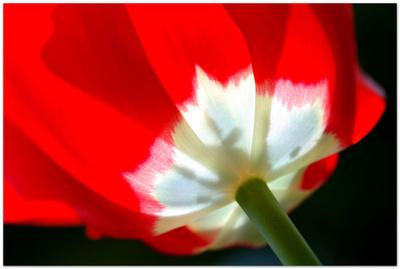 Rot-Weißer Blütentraum
