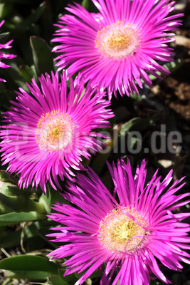 Drei rotviolette Mitagsblumen