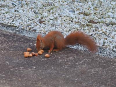Eichhörnchenfütterung