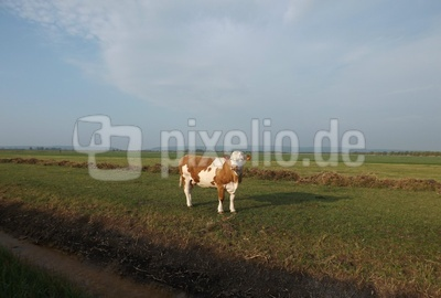 Eine Kuh am Ostermontag