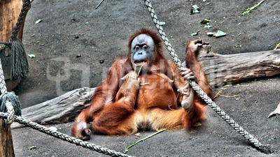 Sumatra-Orang-Utan putzt seine Zähne