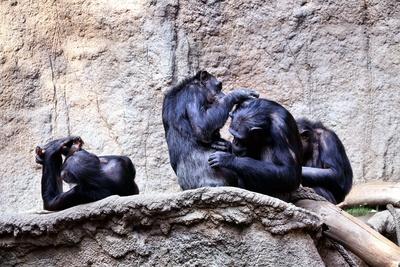 Schimpansen Familienleben II