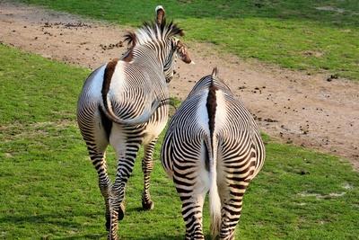 Grevy-Zebras von hinten