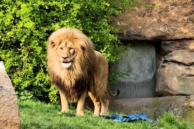 hungriger Angola-Löwe