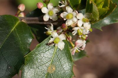 Ameise versteckt sich unter Ilex-Blüte