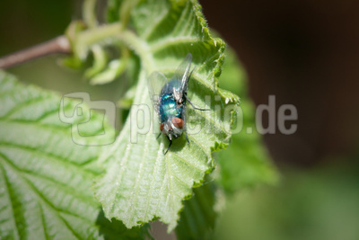 bunt schillernde Fliege