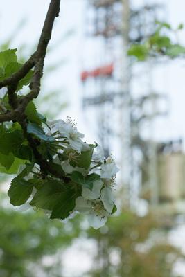 Obstbaumblüte unter Strom
