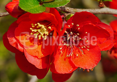Blüten der Zierquitte