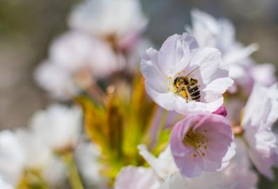 Bienenfleißig an der Blüte_2