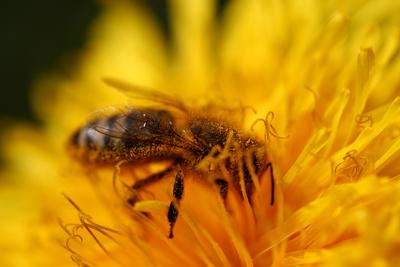 Bienchens Blütentraum