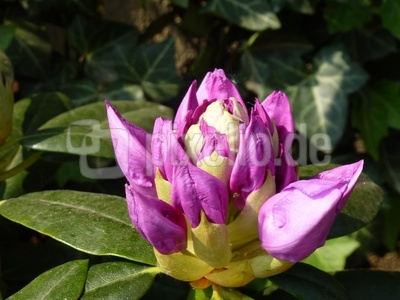 Rhododendronknospe