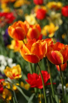 ein Blick ins Tulpenbeet
