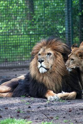 Löwen-Harmonie
