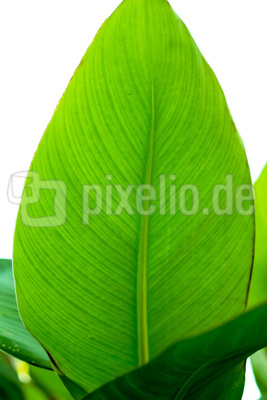 Ein Cannablatt