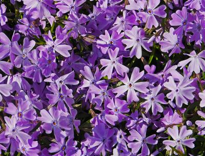 Bodendecker in Blüte