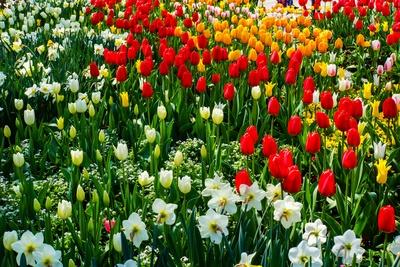Gemischte Tulpenpracht