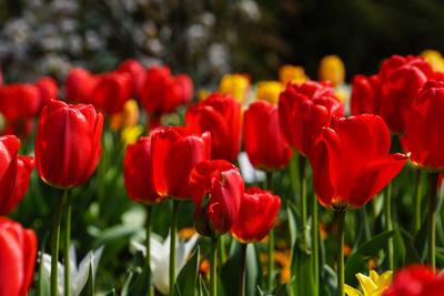 rote Tulpen nah